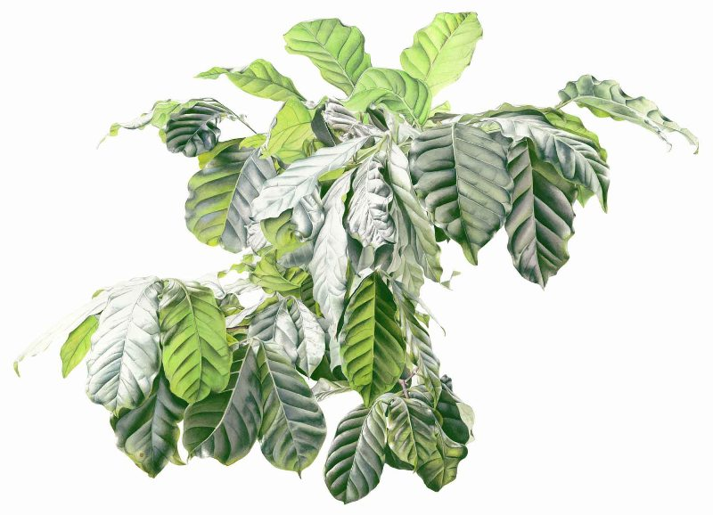 The Green Giant (Coffea arabica)