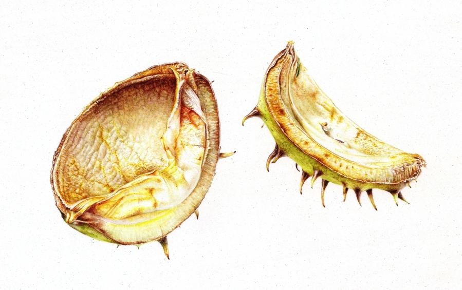 Conker Shells (Aesculus hippocastanum)