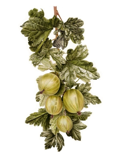 Gooseberries (Ribes uva-crispa)
