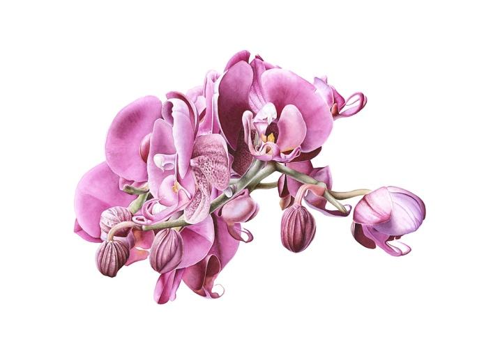 Ophelia (Phalaenopsis sp.)